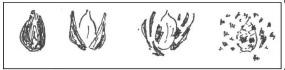 Рис. 2. Семя подсолнечника, способ разламывания, форма разломленной лузги.